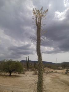 Cirios tree