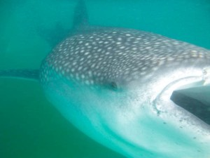 Whale shark up close and personal!